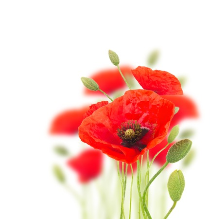 bouquet fleurs: fleurs de pavot rouge avec des bourgeons sur blanc Banque d'images