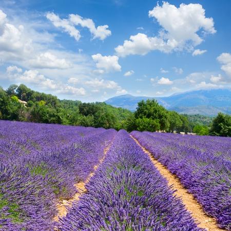 espliego: Flores de lavanda campo con el cielo azul del verano, Francia Foto de archivo