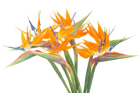 Het boeket van vogel van paradize bloeit geïsoleerd op witte achtergrond