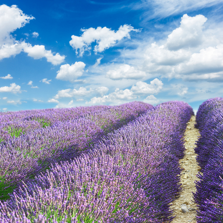 lavandula angustifolia: Lavender flowers field with summer blue sky, Provence, France