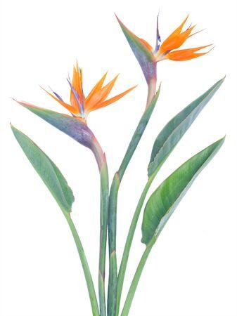ave del paraiso: Ave del Paradize - flores frescas con hojas verdes aisladas sobre fondo blanco Foto de archivo