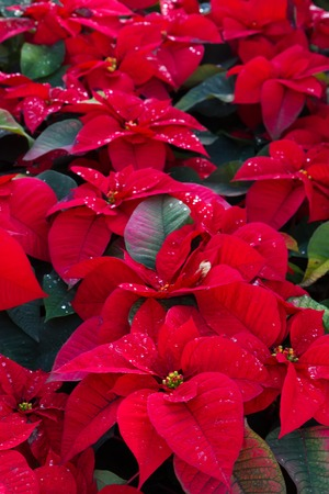 Flowerbed of red poinsetia flowers with waterdrops 免版税图像