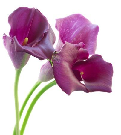 calas blancas: flores violeta Calla lilly aislados en fondo blanco Foto de archivo