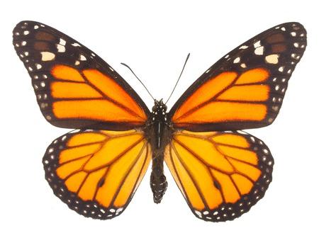 mariposas volando: Mariposa anaranjada monarca aislado en fondo blanco