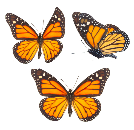 mariposas amarillas: Conjunto de mariposas de color naranja monarca aisladas sobre fondo blanco
