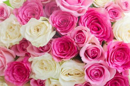 rosas rosadas: fondo de color rosa y fresca rosa blanca flores cerca