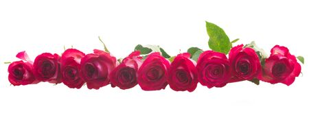black roses: row of fresh dark pink roses  isolated on white background