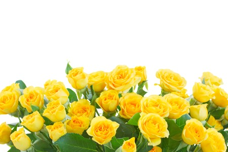 roses petals: border  of yellow roses  isolated on white background