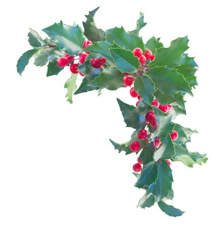 Fresh Holly branch border with  leaves and berries isolated on white background
