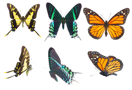 black butterfly: Set of Colorful tropical butterflies row isolated on white background Stock Photo