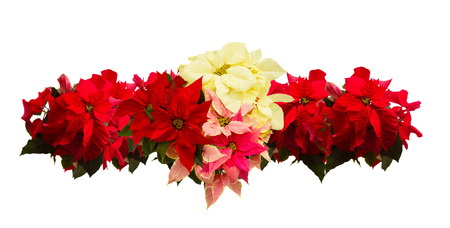 poinsettia: border of fresh scarlet, pink and white poinsettia flower or christmas star  on a white background