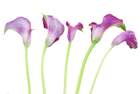 calas blancas: cinco flores de color violeta Cala Lilly aislados en el fondo blanco