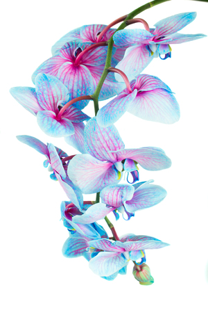blue orchid: fresh stem of blue orchids  isolated on white background