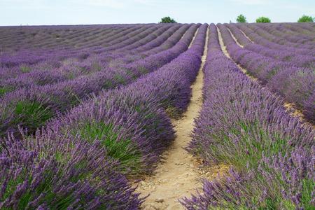 flores moradas: Landscape with Lavender flowers field, Provence, France Foto de archivo