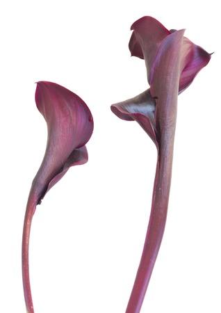 calas blancas: dos violetas flores frescas Calla lilly aisladas en el fondo blanco Foto de archivo