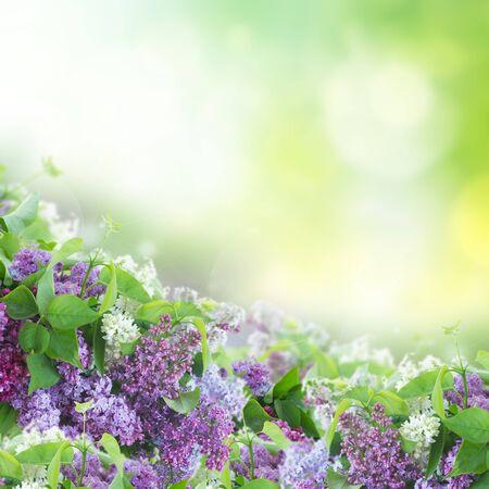 ramo de flores: Bush of  of Lilac flowers   on green  bokeh  background