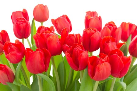 red tulip: fresh red tulip flowers border isolated on white background Stock Photo