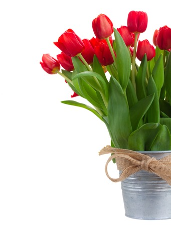 red tulip: fresh red tulip flowers in metal bucket close up isolated on white background Stock Photo