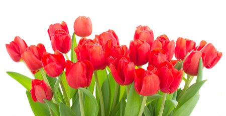 red tulip: bunch of fresh red tulip flowers isolated on white background