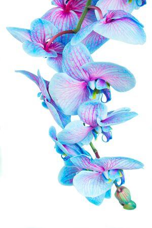 tige de fleurs d'orchidées bleues isolé sur fond blanc