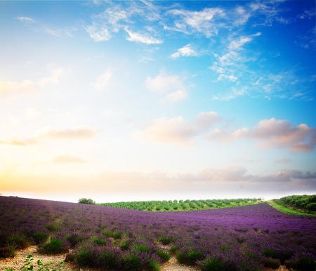 plateau of flowers: Lavender flowers field with summer blue and pink sunset sky, Provence, France, retro toned