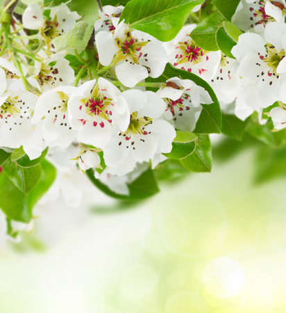 white blossom: Blossoming apple  tree flowers with green leaves on green bokeh background