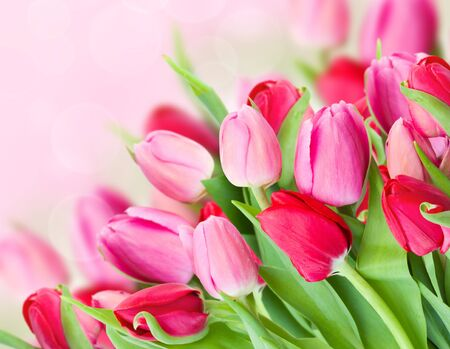 blosom: bouquet of fresh spring pink tulips  on bokeh background