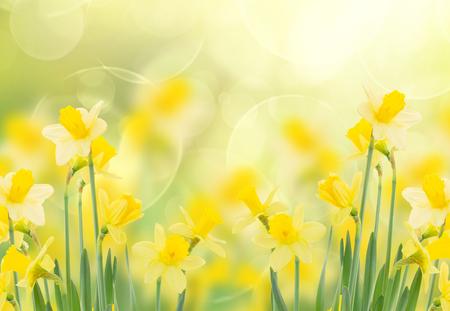 lente groeiende narcissen in tuin geïsoleerd op een witte achtergrond