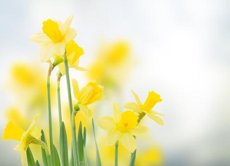 voorjaar narcissen in de tuin op blauwe bokeh achtergrond Stockfoto