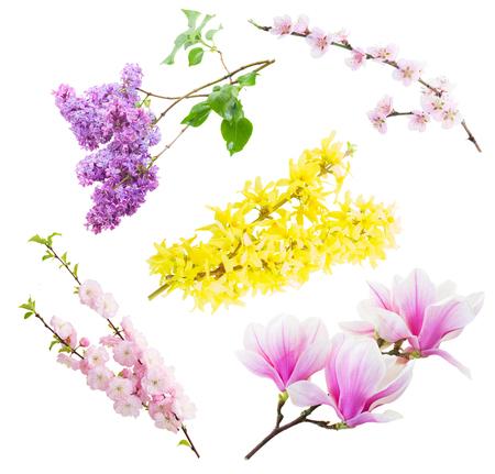 flor violeta: Conjunto de ramitas flores del árbol que florece con flores aisladas sobre fondo blanco