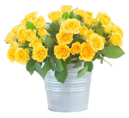 isolated on yellow: bunch of fresh yellow roses with green leaves in  metal pot  isolated on white background