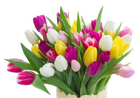 bunch of fresh purple, pink, yellow and white tulip flowers close up isolated on white background