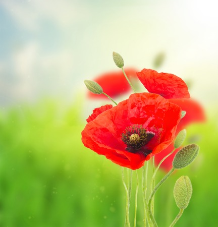 oriental poppy: Red poppy blooming  flowers with buds  on field  defocused  background