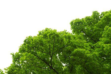 albero nocciola: nocciolo con foglie verdi isolato su sfondo bianco