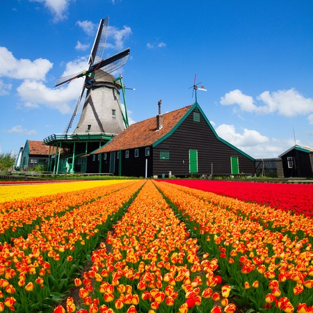 holland windmill: dutch windmill over orange tulips field , Holland Stock Photo