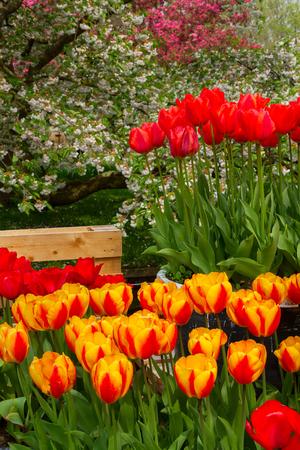 keukenhof: Colorful spring tulip  flowers  in holland park Keukenhof, Netherlands