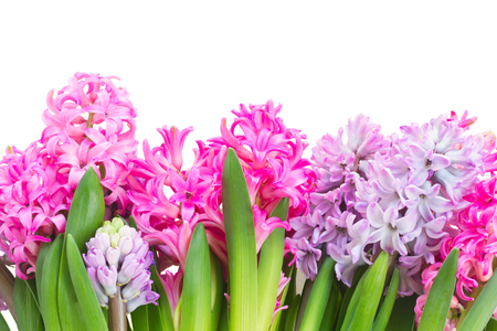hyacinths: Pink and violet hyacinths border isolated on white background Stock Photo