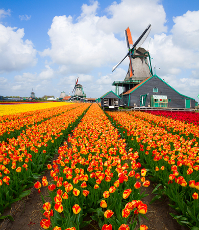 dutch windmill over colorful orange tulips field , Holland Фото со стока
