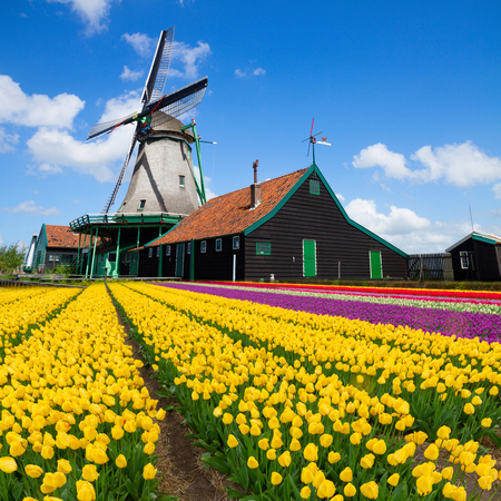 dutch culture: dutch windmill over colorful yellow tulips field , Holland