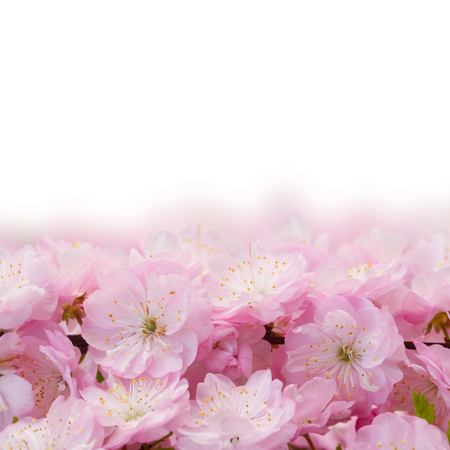 white blossom: Border of blossoming pink sacura cherry  tree flowers border against white background