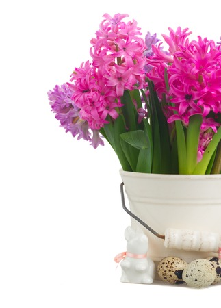 hyacinths: Pink and violet easter hyacinths in pot close up  isolated on white background Stock Photo