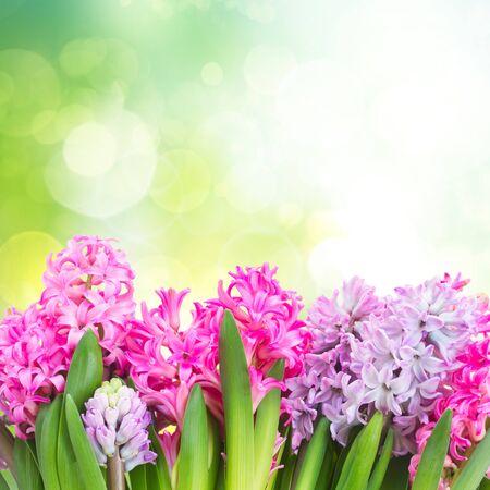 hyacinths: Pink and violet hyacinths in green garden
