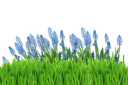 grass border: Muscari blue flowers with green grass border on white background