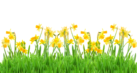 border of bright spring yellow daffodils  with grass on white background Foto de archivo
