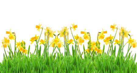 ramo de flores: frontera de narcisos amarillos brillantes de la primavera con la hierba en el fondo blanco Foto de archivo