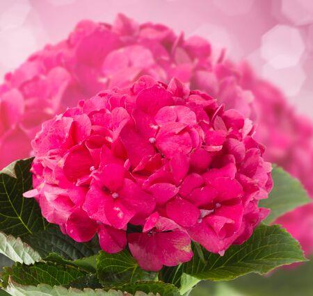 blosom: pink hortensia flowers brunch close up  on dark bokeh background Stock Photo