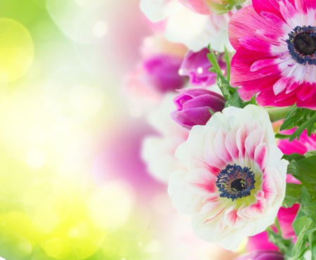 windflower: fresh anemone flowers isolated on green bokeh  background