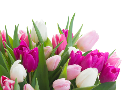 white tulip: bunch of fresh purple, pink and white tulip flowers close up isolated on white background Stock Photo