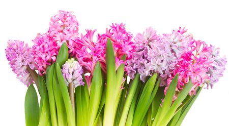 hyacinths: Pink and violet hyacinths flowers border isolated on white background
