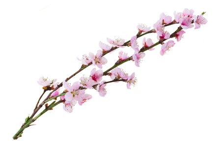 Cherry Tree brindilles avec la floraison des fleurs isolé sur fond blanc